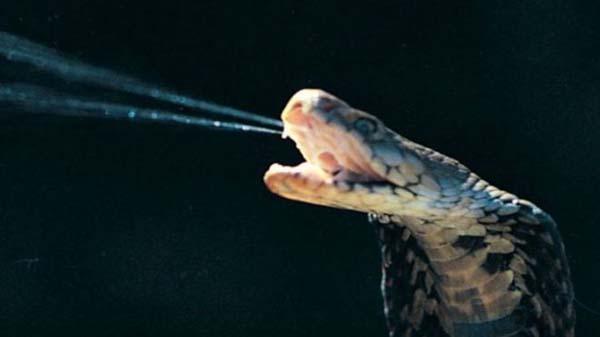 Empat spesies hewan yang racunnya dimanfaatkan sebagai obat